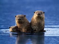 Sea otter desktop wallpaper
