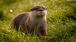 1920x1080, Beautiful, Otter, Animals, Wallpaper