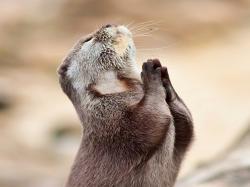 sea otter praying Wallpaper