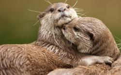 ... Otter Wallpaper ...