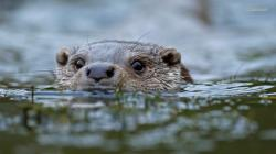Otter wallpaper 1366x768