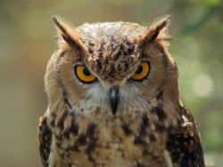 Owl images 1