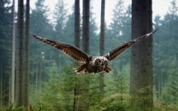 Owl flying forest