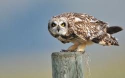 Short-eared Owl Bird