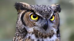 great-horned-owl-24500-1920x1080.jpg