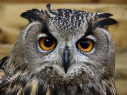 Female Eurasian Eagle Owl by cycoze