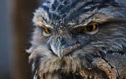 Owl Feathers Eyes Beak Bird