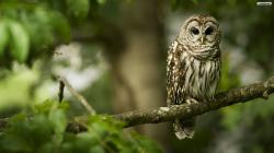 ... beautiful-owl-wallpaper ...