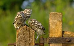 Birds Owls Fence