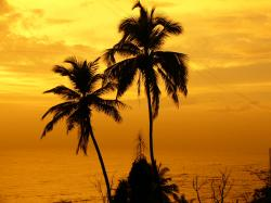 Coconut palm trees in Mumbai, India