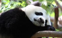 Panda Relax