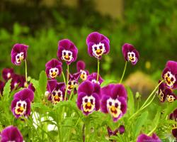 You can find Bright Pansies Flowers Wallpapers in many resolution such as 1024×768, ...