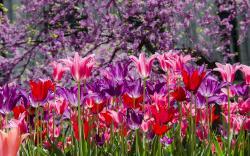 Park purple pink tulips