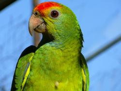 [25], Red-browed Amazon parrot.jpg