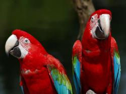 birds animals parrot red color macaw