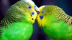 Parrots Kiss