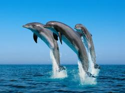 Three jumping dolphins.