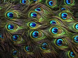 Peacock Feather; Peacock Feather; Peacock Feather ...