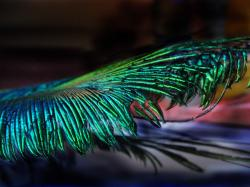 Peacock Wallpaper; Peacock Wallpaper ...