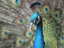 free Peacock wallpaper wallpapers download
