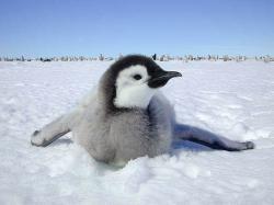 free Emperor Penguin wallpaper wallpapers download
