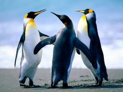 ... Quality-Images-of-Penguin-Wallpaper-HD ...