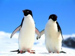 penguin wallpaper ...