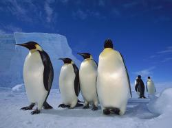 free Emperor Penguin wallpaper wallpapers download