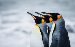 Penguins Royal Antarctica South Georgia