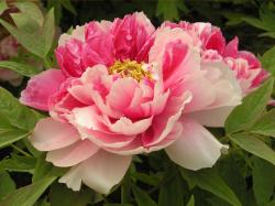 3 Photos of the Peony Flowers Best