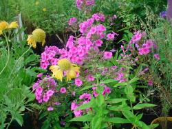 It seems that often people are drawn to the Phlox perennial plants as they offer an intense beauty that is impossible to go unnoticed.