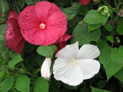 It produces flowers in different attractive and vibrant colors like white, red and pink. Growing conditions include full sun and fertile and moist soil.