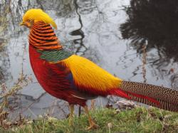 View And Download Golden Pheasant HD Wallpapers ...