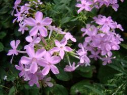phlox flower1 The Wonderful Smell of Phlox Flowers in Summer