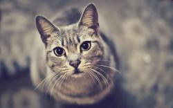 Cat look up Wallpapers Pictures Photos Images. «