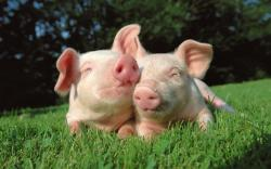 HD Wallpaper   Background ID:115554. 1920x1200 Animal Pig
