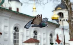 Pigeon Bird Flight Church Chapel Photo