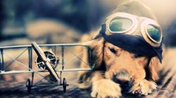 Description: The Wallpaper Above Is Pilot Dog Wallpaper In Resolution