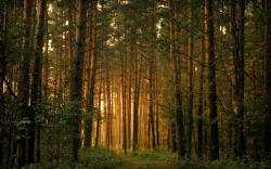 Pine Forest ...