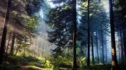 Beautiful Pine Forest Wallpaper