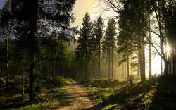 SUN LIGHT AT PINE FOREST Wallpaper