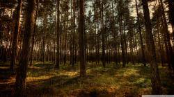 Pine Forest Wallpaper Widescreen (1)
