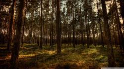 Pine Forest Wallpaper Widescreen (1)