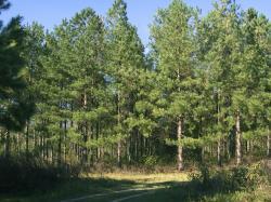 pine plantation