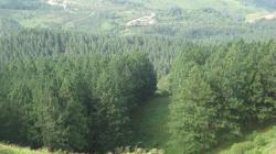 File:Pine tree forest 3.jpg