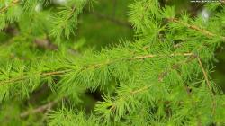 high definition pine tree, wallpaper, desktop, background, hd nature, download,