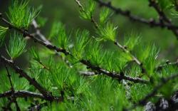 Pine Tree Wallpaper