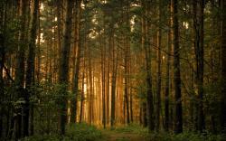 ... Pine Tree Wallpaper ...
