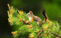 Download Squirrel on Pine tree Wallpaper :