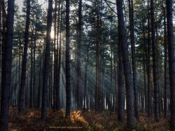 Free iPad wallpaper of beams of winter sunshine through a dark pine forest. Clumber Park
